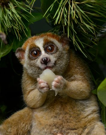 "PYGMY SLOW LORIS....found in tropical rainforest, scrub forests, semi-deciduous forest, swamps, suburban gardens in India, southeast Asian and Sri Lanka.....a body length of 7 – 15 inches including tail and a weight of 9 ounces to 4.6 pounds....can hang from the branch (attached by its feet) for hours.....the only known ""poisonous"" primate"