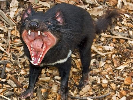 Science | An international collaboration between the University of Tasmania, the Save the Tasmanian Devil Program, the University of Sydney, the University of Cambridge UK, and the University of South Denmark has discovered that the explanation of Devil Facial Tumour Disease (DFTD) is more complex.   #Australia #Science #curedevilsoffacialtumors #tassiedevilresearch