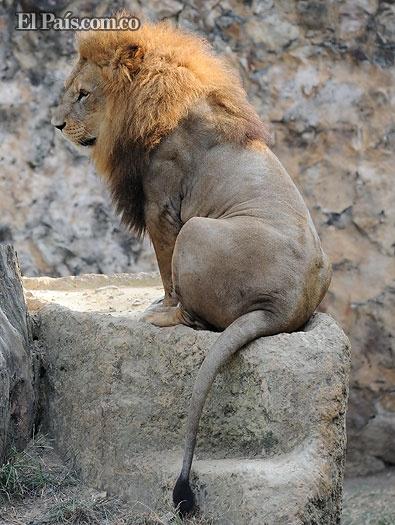 León del Zoológico de Cali protagonizó sesión fotográfica para portada de revista, al final dio la espalda. Imponente!!