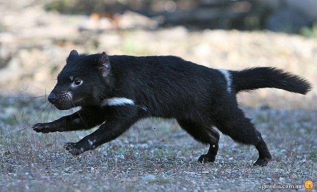 Tasmanian devil  - Sarcophilus harrisii - тасманийский дьявол