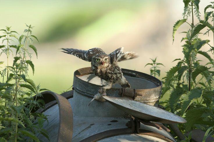 Steenuil ( Athene noctua ) met een verse prooi op een oud giertankje. A Little Owl ( Athene noctua ) with her prey on a old agricultural machine.  Photographer Cees Uri www.ceesuri.nl