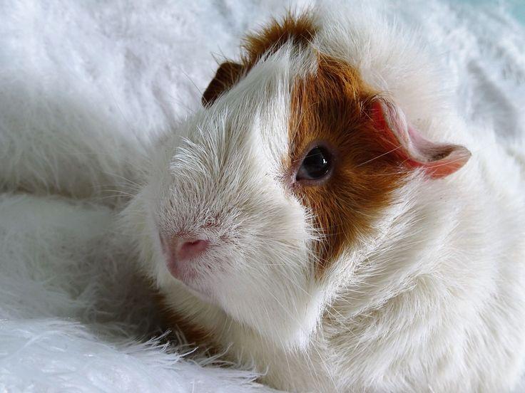 36 best Guinea Pig images on Pinterest | Conejillos de indias ...