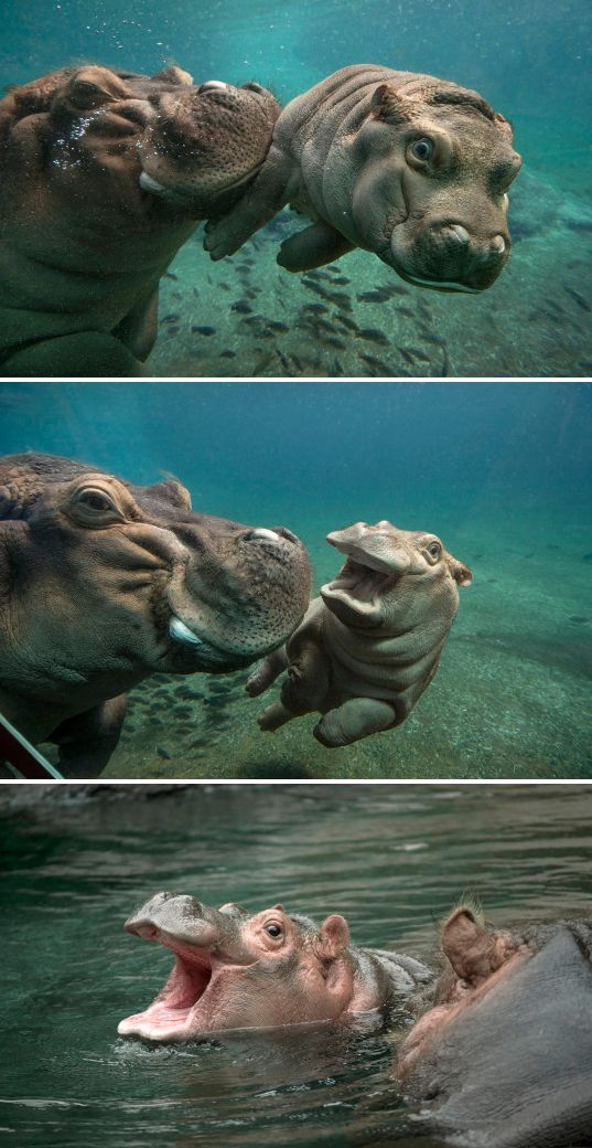 Our little glamour girl, Devi the hippo calf, is gracing this month's cover of ZOONOOZ.