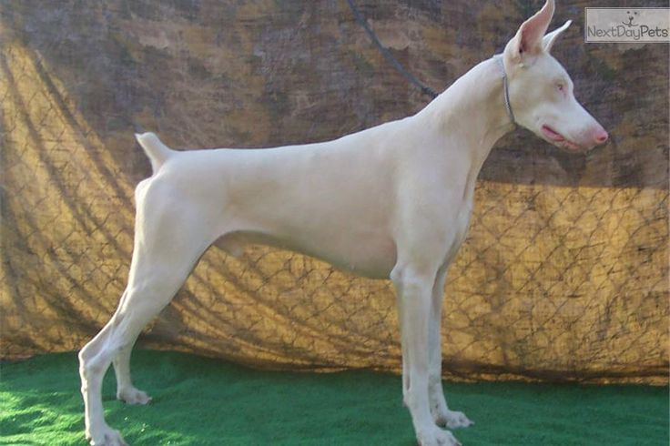 White doberman pinscher dogs