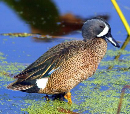 Blue-winged Teal, Identification, All About Birds - Cornell Lab of Ornithology