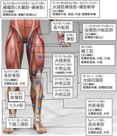 筋トレ大学:各部筋肉の名称(下半身:前側)
