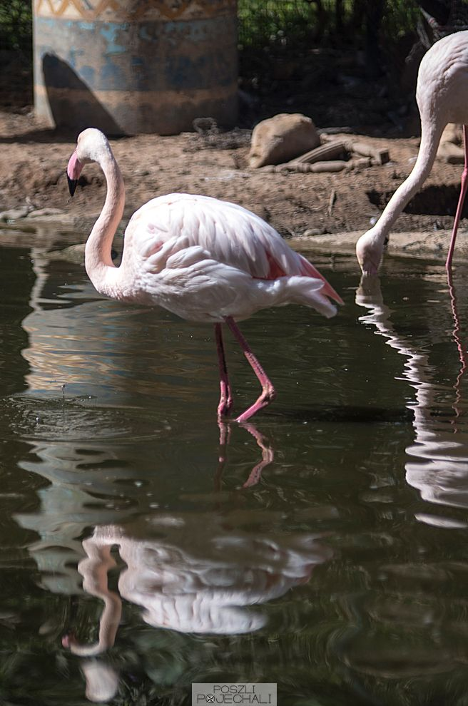 Flamingo, Bird Valley, Agadir, Morocco