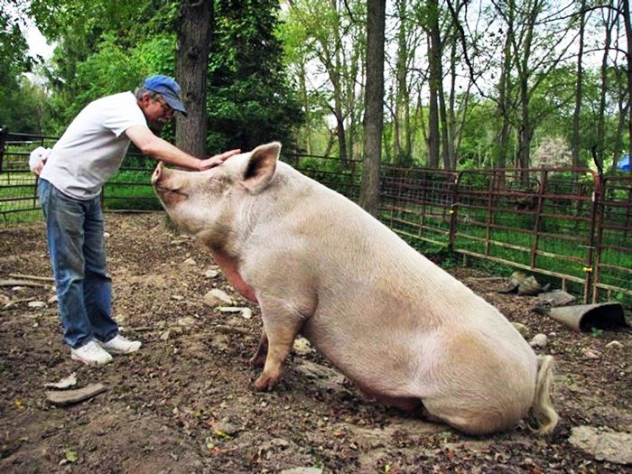 the pig s transformation animal farm Throughout the course of the novel the lives of everyone – human and animal –  on animal farm change dramatically in the case of the pigs their lives get better .