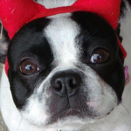 Boston Terrier This is what Dixie looks like! Have a wonderful life-Dixie! Thank you Taylor family!!! You saved a precious life today.