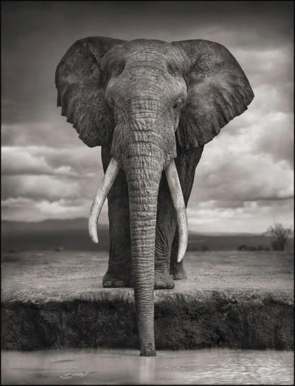 Elephant drinking. Amboseli, 2007. Killed by poachers, 2009.