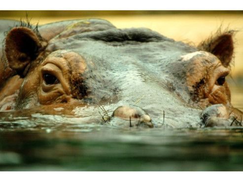 Flusspferd beim Wasserbad