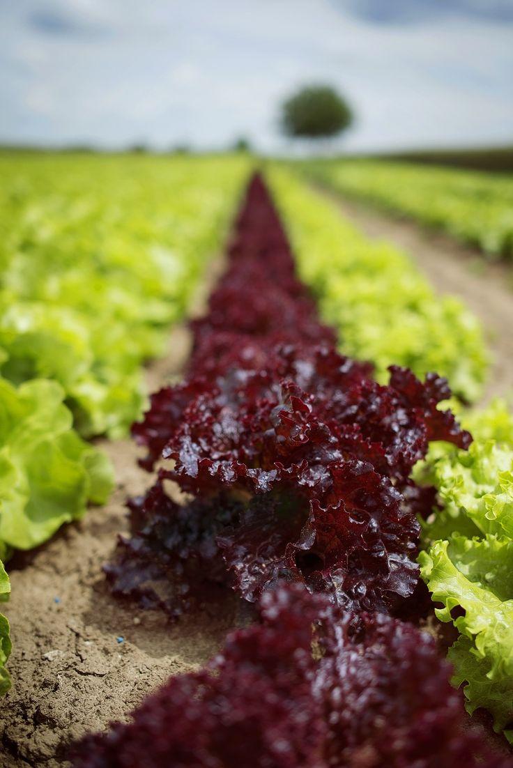 Proaspat culeasa din gradina #DordeGust, salata verde sau rosie inspira creativitate in bucatarie.