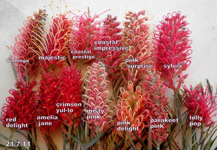 SIGHT AND SOUND (birds): Pink Grevillea Flowers