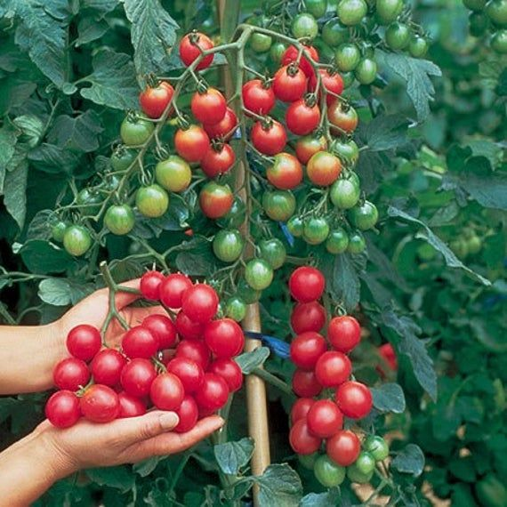Vtc Sweet Million Cherry Tomatoseedstop Of The Etsy In 2020 Cherry Tomato Plant Organic Vegetable Seeds Growing Tomatoes From Seed