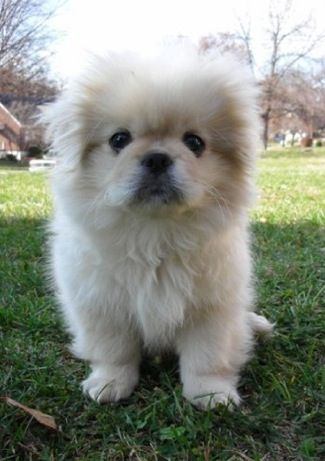 This must be what Doug would have looked like as a pup