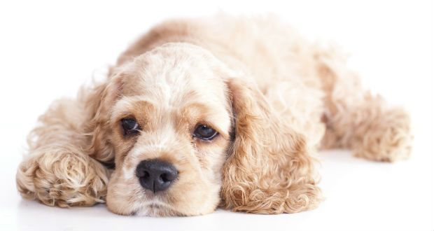 """<3 American Cocker Spaniel ... one of """"16 Happiest Small Dog Breeds"""" from puppylovernews.com *Click for all happy dogs and their interesting descriptions."""