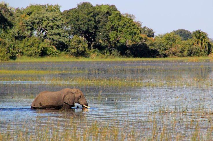 Elephant walking through water in the Okavanago Delta, Botswana…