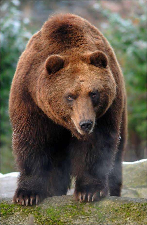 7fcdec157d8372afa592790e9016fe08--brother-bear-animals-planet.jpg (605×927)