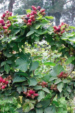 Thornless Blackberry 'Waldo'. Less vigorous so easier to train