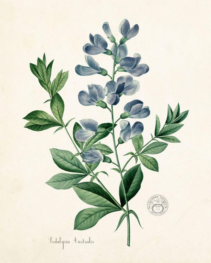 Podalyria Astralus No. 2 Botanical Art Print