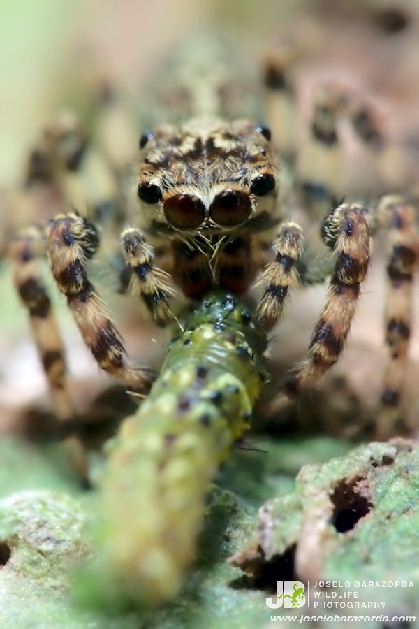 Jumping Spider eating lunch. Tambopata National Reserve, Peru