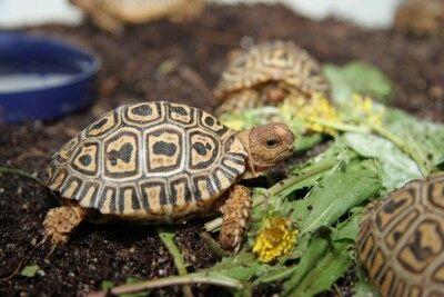 Želva suchozemská