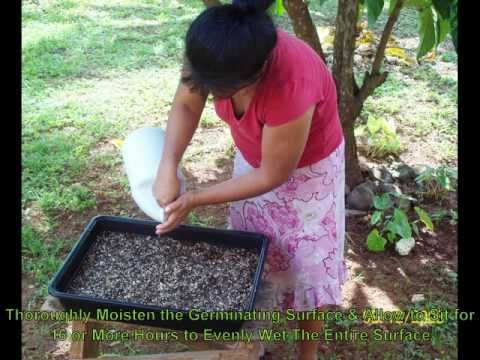 ▶ Planting Paulownia Seeds en Mass - YouTube