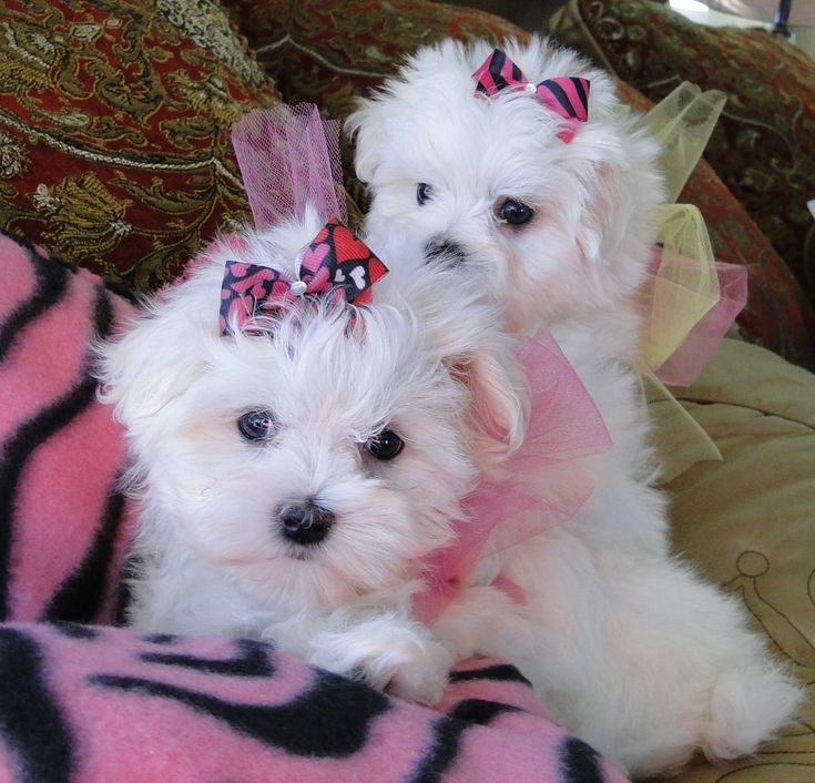 Look at my beautiful Baby maltese .. we adore our puppies! www.texasteacuppuppy.com www.facebook.com/facebook.com