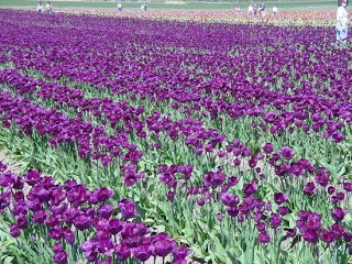 flowers for flower lovers.: Purple tulip flowers pictures.