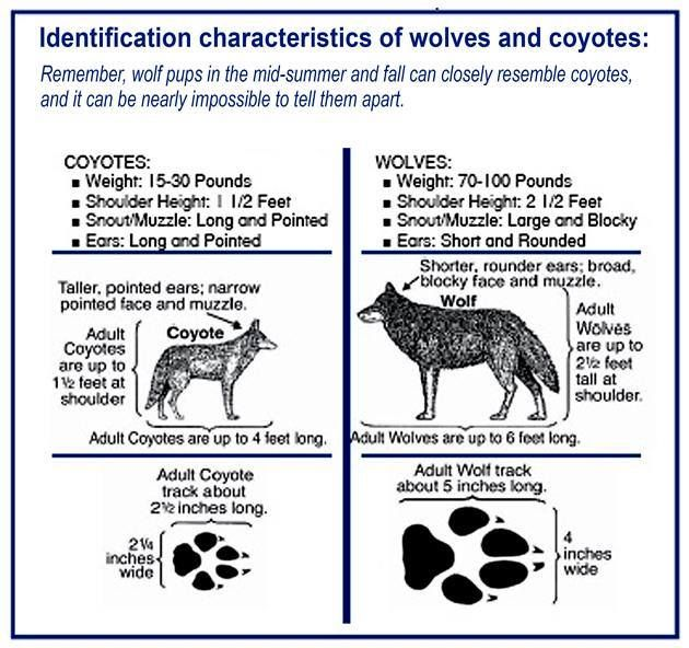 an essay on wolf predation It is a predator-prey study the given scenario would be that if all of the wolf packs died off and they were not replaced, what would happen to the moose population would it grow too quickly where the island could not support them and would it face a natural decline.