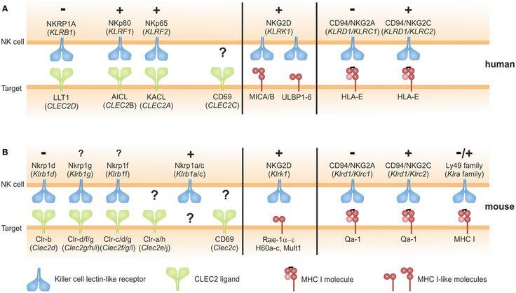 Induced Apoptosis Vs Natural Killer Cells