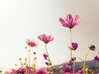 Pink cosmos (bipinnatus) flowers against the bright blue sky. Cosmos is also known as Cosmos sulphureus, Selective Focus, Retro Color Tone