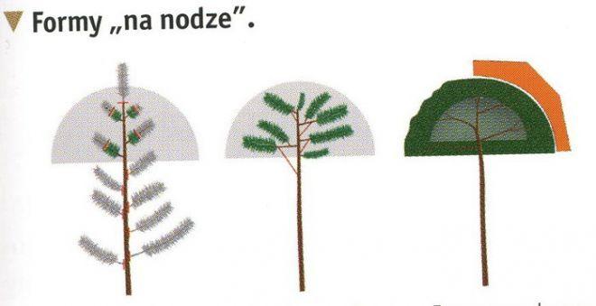 Формирование ,стрижка хвойных растений.
