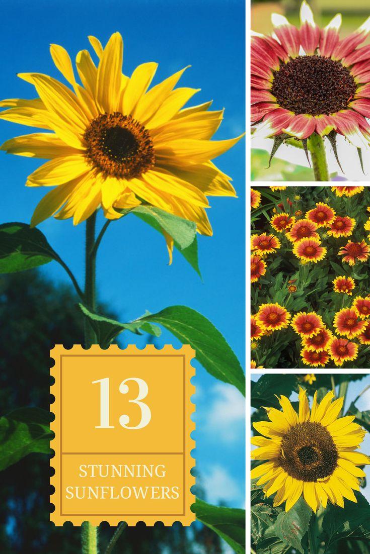 13 Stunning Sunflower Varieties --> http://www.hgtvgardens.com/photos/flowering-plants-photos/types-of-sunflowers?soc=pinterest