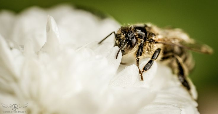 """Busy little bee - """"Bees do have a smell, you know, and if they don't they should, for their feet are dusted with spices from a million flowers.""""  ― Ray Bradbury, Dandelion Wine"""