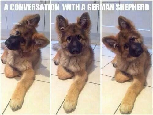 A conversation with a German Shepherd. My 8 year old GSD still does this.