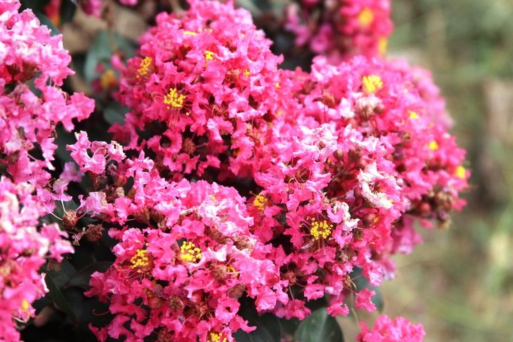 Crepe Myrtle Coral Magic Lagerstroemia