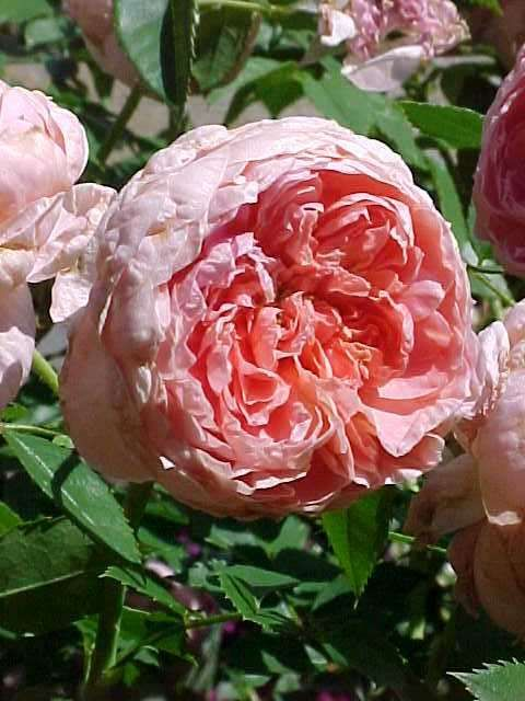 Colette, Large Flowered Climbing Rose Zone: 5 To 9 Height: 5 To