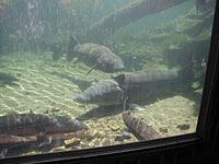 Visit the Bonneville Hatchery with the kids while at Wahclella Falls.