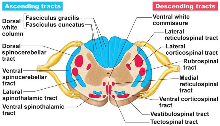 cross-section of spinal cord diagram showing major spinal tracts | Return to HOMEPAGE