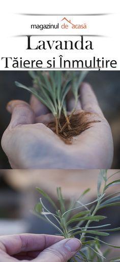 Transforma un lastar de lavanda, intr-un ghiveci cu planta adulta