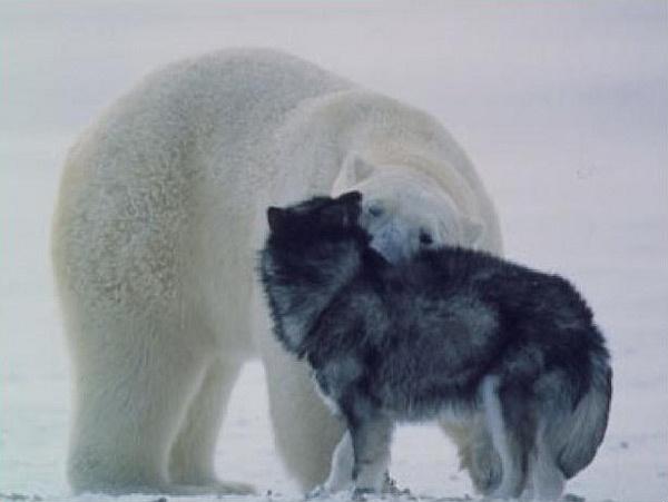 Persahabatan Beruang Kutub dan Anjing http://evobig.blogspot.com/2012/08/bila-beruang-kutub-bertemu-anjing.html