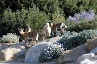 Les chèvres naines ont toujours beaucoup d'effet auprès des visiteurs, plus particulièrement auprès des plus jeunes. Le Parc de Saleccia propose également une aire de jeux, une aire de
