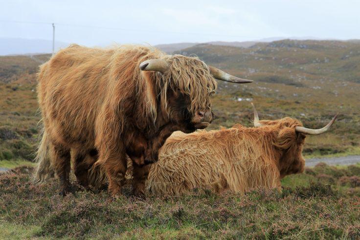 Scotland, cow