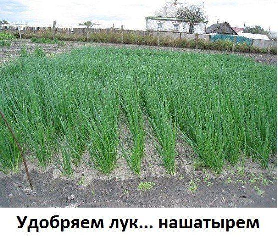 Удобряем лук... нашатырем. - Экологическое землетворчество | Экологическое землетворчество