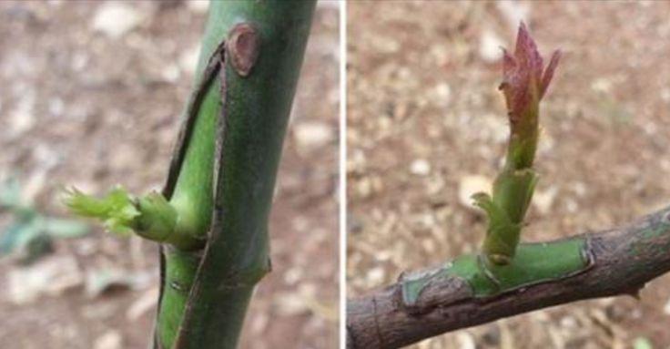 La technique du greffage est une pratique qui consiste à croiser deux plantes différentes afin de donner vie à une espèce végétale qui assure les meilleurs caractéristiques de l'un et de l'autre. Assez souvent, les variétés d'arbres fruitiers sauvages offrent des fruits plutôt pauvres du point de vue nutritionnel ou qui ne vivent pas longtemps …
