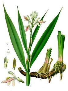 Health Benefits and Side Effects of Galangal Root (Alpinia officinarum) and Its Modern and Traditional Uses in Herbal Medicine