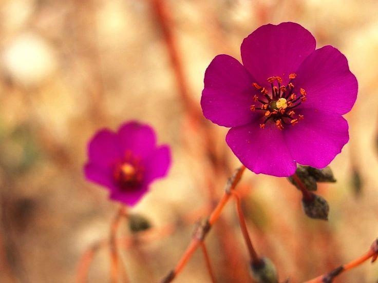 Beautiful pink flowers that bloom in the Atacama Desert.