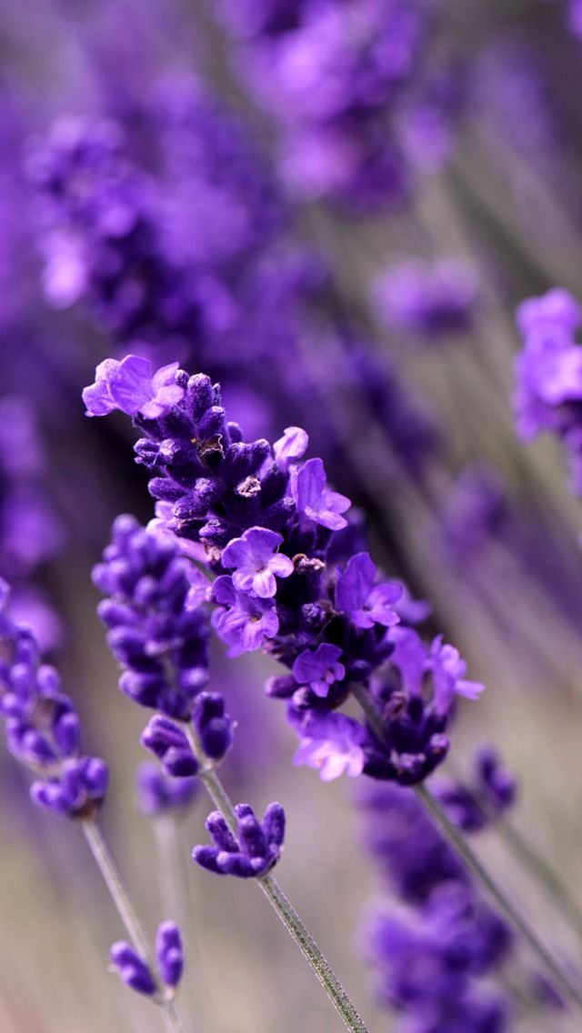 Lavender Flowers. Awesome Collection of Flower iPhone ...
