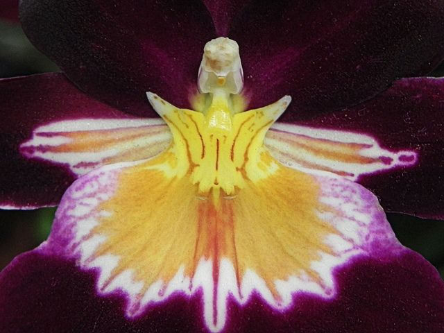 pansy orchid closeup